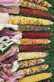 decorative indian corn large