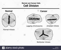 cell division diagram diagram images wiring diagram