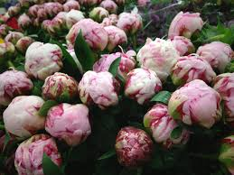 wholesale peonies peonies northwest wholesale florists