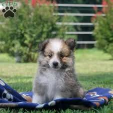 australian shepherd eskimo spitz mix american eskimo mix puppies for sale greenfield puppies
