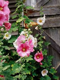 hollyhock flowers 100231456 jpg rendition largest ss jpg