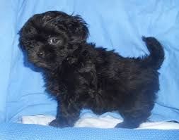 shih poo haircuts the 25 best shih poo puppies ideas on pinterest