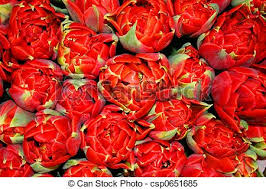 Fowers Stock Images Of Beautiful Tulip Fowers Beautiful Tulip Flowers