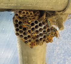 how to remove minnesota bees and wasps safely in 2017
