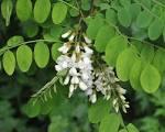 Image result for Robinia pseudoacacia