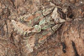 green brindled crescent allophyes oxyacanthae norfolk moths
