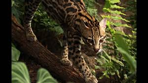 ocelot facts and pictures