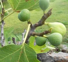 a kitchen garden in kihei growing potted fig trees in kihei