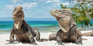 iguana island iguana beach your family friendly beach in aruba beaches of aruba