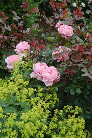 old english rose varieties to grow hgtv