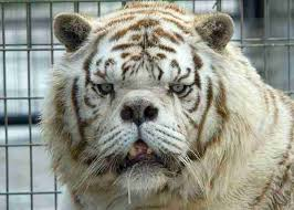 this is why no one should breed white tigers the dodo