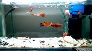 membuat filter aquarium kecil filter system for mini aquarium youtube