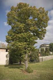 fast growing native plants are poplar trees good or bad u2013 growing information and poplar tree