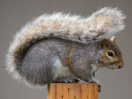 gray squirrels versus red squirrels u2013 the facts u2013 focusing on wildlife