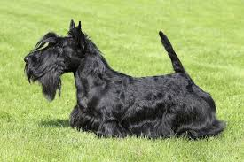 basic haircuts for a scottish terrier dog care the daily puppy