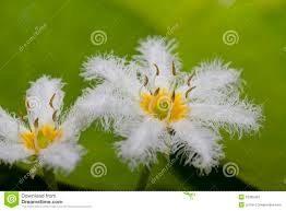 Snowflake Flower - water snowflake flower stock photography image 29385462