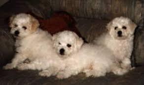 bichon frise 7 weeks old bichon frise puppy announcement