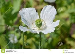opium poppy papaver somniferum stock photo image 59406228
