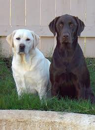 labrador names not color specific just great for labs