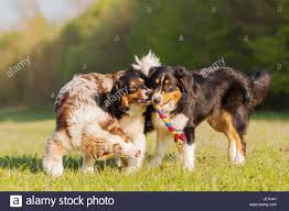 a toy australian shepherd picture of three australian shepherd dogs fighting for a toy stock