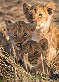 sle resume journalist position in kzn wildlife cing 17 best images about animaux animals on pinterest cats lion cub