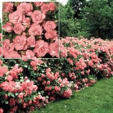 27 best gardening rose hedge images on pinterest hedges