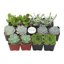 13 succulents that are native assorted mix succulents u0026 cactus plants garden plants