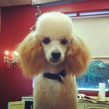 haircutsfordogs poodlemix miniature poodle puppy dogma grooming salon and spa puppies