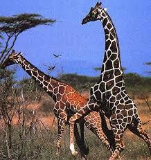 imagenes de amistad jirafas características de las jirafas