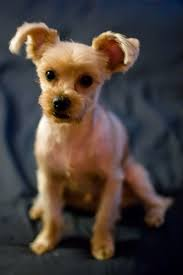 yorkie hairstyles photo gallery yorkie haircut styles pictures find hairstyle