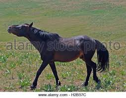 mobile bay mustang mustang bay band stallion with his strawberry roan