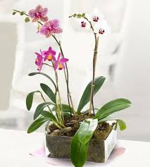 orchid plants dramatic orchid plants a contemporary design marco island