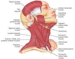 Muscle Anatomy Of Shoulder Best 25 Muscles Ideas On Pinterest Anatomy Head