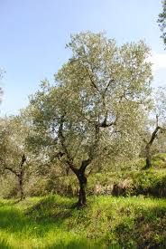 pruning the olive trees u2013 before and after notes from a tuscan