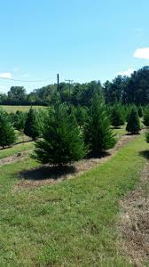 member of south carolina christmas tree association