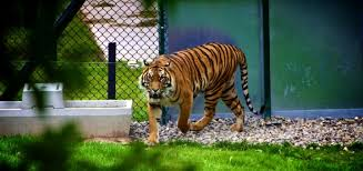 meaning of stories dilemmas bengal tiger
