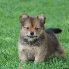 pomeranian x australian shepherd yorkie pom puppies for sale greenfield puppies