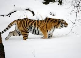siberian tiger facts amur tigers endangered animals