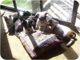 american pitbull terrier kennels in michigan 2 pitbull puppies adopted puppy 67 lansing mi american