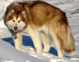 american eskimo dog brown canadian eskimo dog inuit sled dog alaskan or mackenzie river