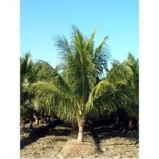 sylvester palm tree sale sylvester palms palm trees