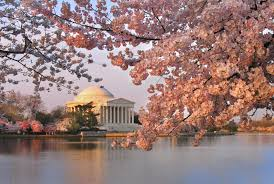 cherry blossom festival d c 2016 the greyhound news loyola