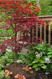buy fireglow japanese maple tree for sale from wilson bros