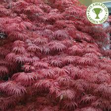japanese maple trees acer palmatum ornamental trees ltd