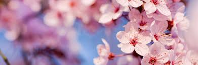 cherry flowers wallpapers graphics for cherry blossom flowers wallpaper graphics www
