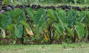 native hawaiian plants polynesian produce stand purple guppy taro colocasia esculenta
