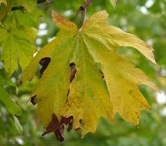 plants native to new mexico big leaf maple acer macrophyllum pacific northwest native tree