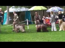 afghan hound national 2014 afghan hound club of greater phoenix specialty best of breed youtube