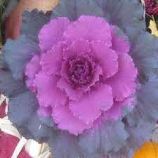 flowering cabbage seeds pigeon purple flowering kale ornamental kale