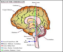 Which Part Of The Brain Consists Of Two Hemispheres The Corpus Striatum Rhinencephalon Connecting Fibers And